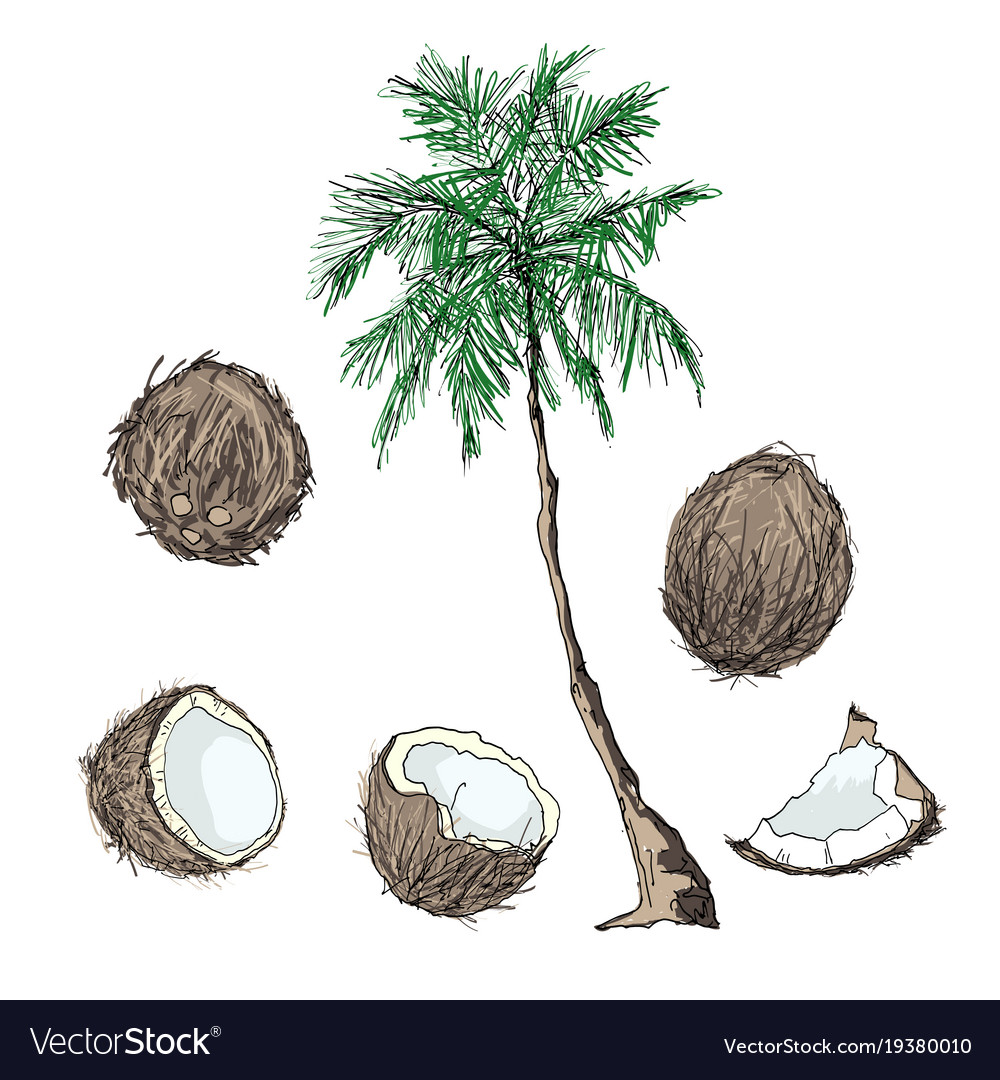 Coconut tree and fruits