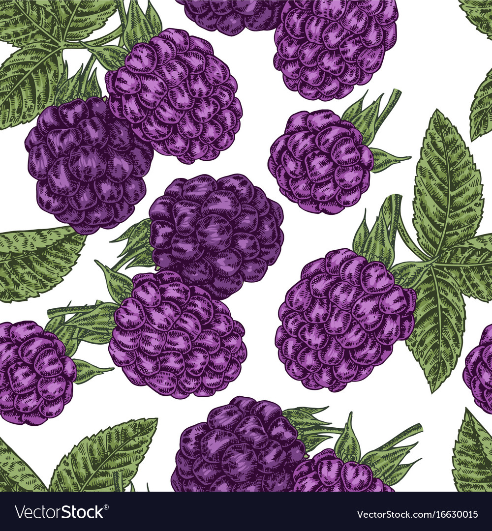 Hand drawn sketchy berries ripe blackberry branch vector image