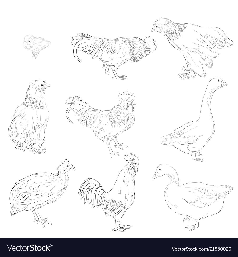 Sketch of domestic birds
