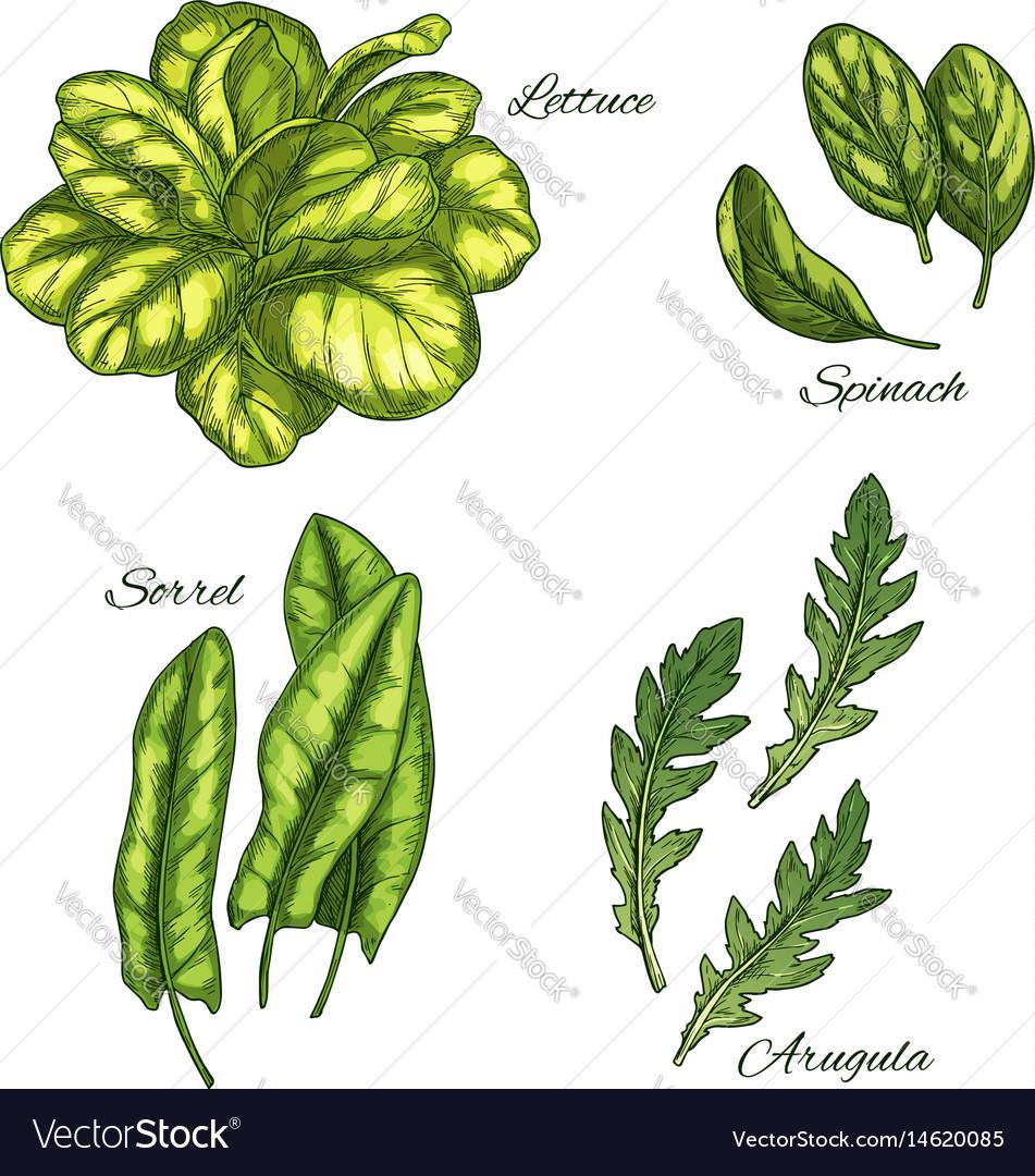 Green vegetable and salad leaf sketch set