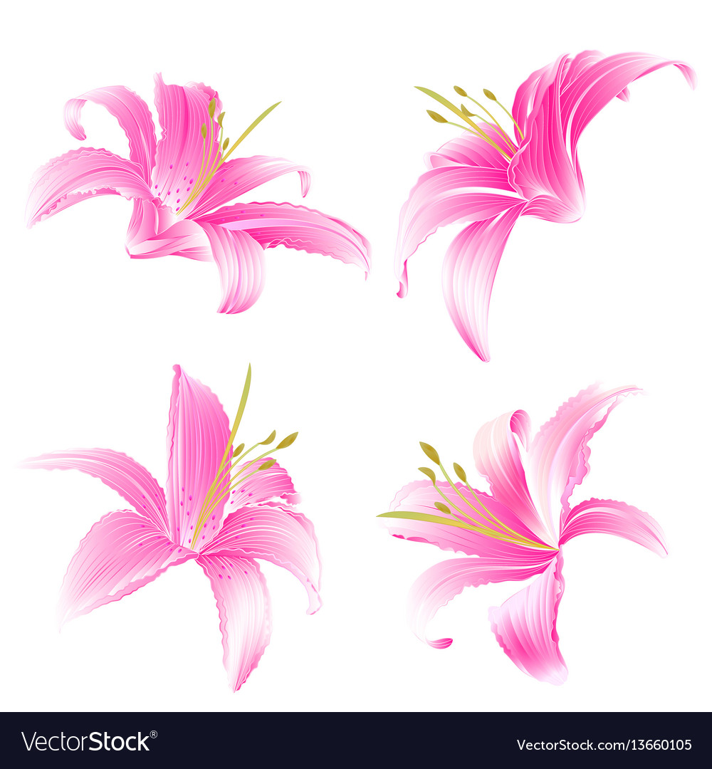 Spring Flowers Lily Pink Daylily Vintage Vector Image