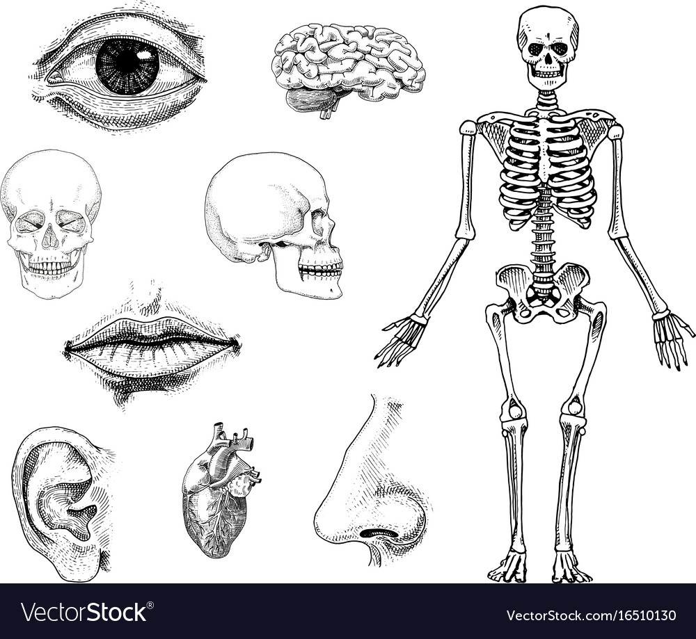 Human biology anatomy engraved hand vector image