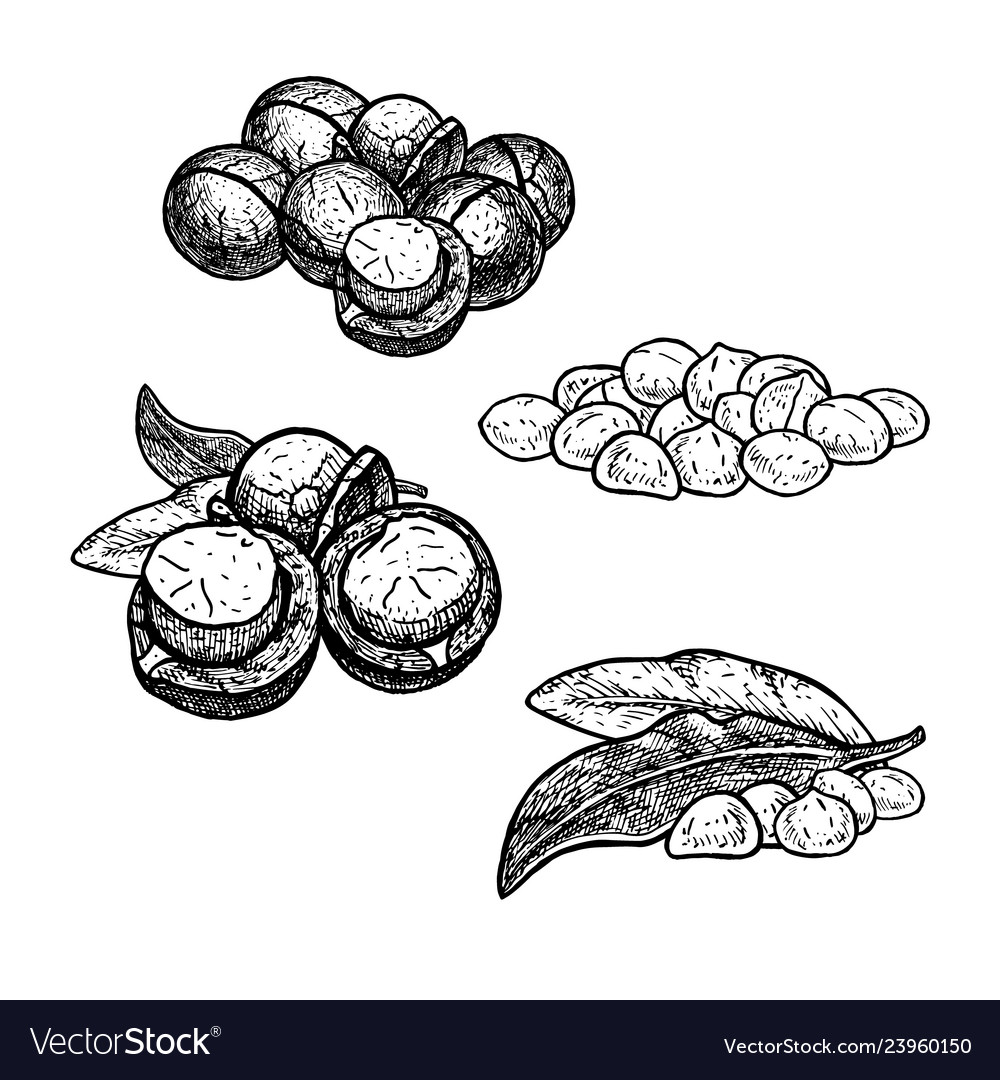 Hand drawn set of macadamia nuts huddles with