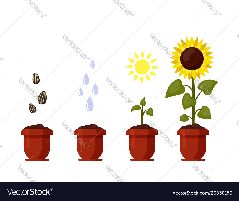 Sunflower cartoon grown in a flowerpot isolated on