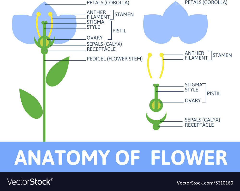 Detail of anatomy flower royalty free vector image detail of anatomy flower vector image ccuart