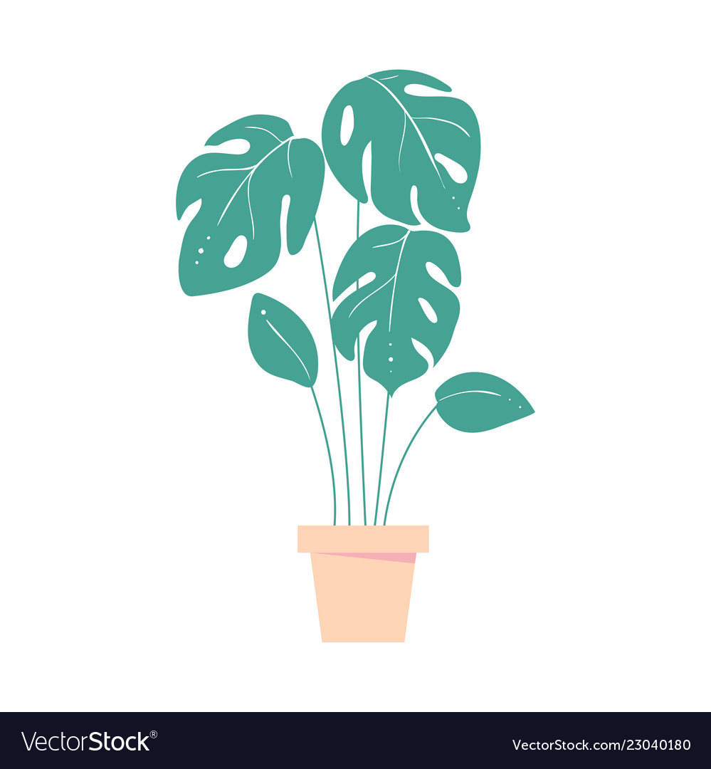 Monstera leave home tropic plant in pot exotic on monstera philo cheesecake, monstera pertusum, monstera leaves, monstera direct sun, monstera sunny window, monstera thai constellation, monstera leaf browning,