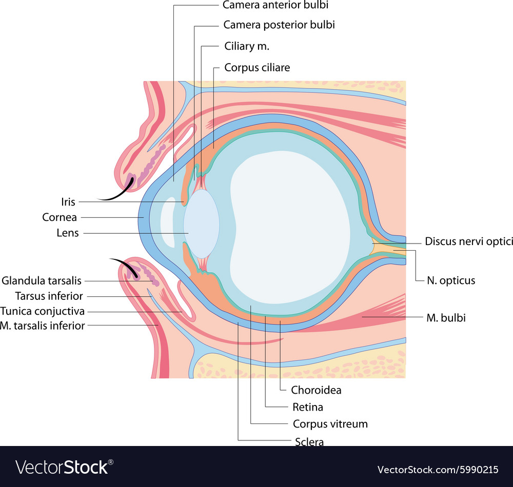 Anatomy eye Royalty Free Vector Image - VectorStock