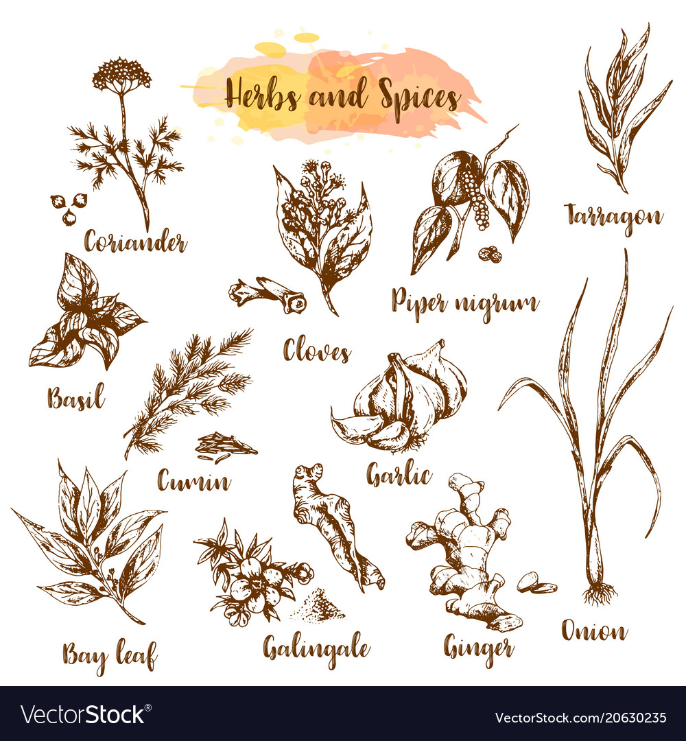 Herbs and spices herb plant vector image