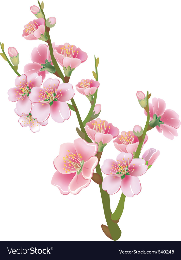 Flowering branch of sakura vector image
