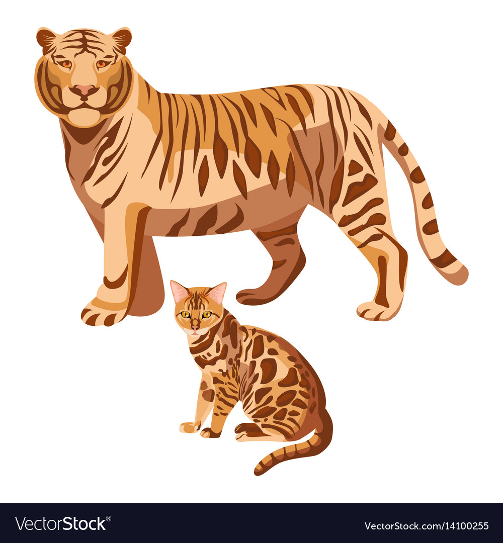 Bengal cats isolated on white big tiger and
