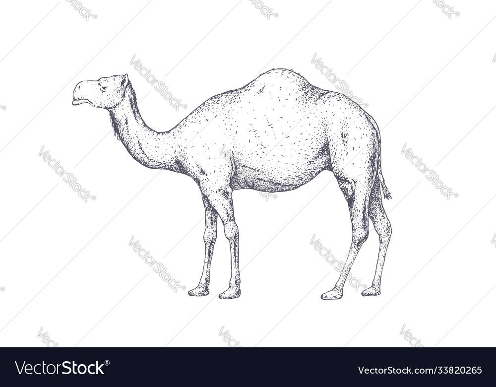 Camel dromedary vintage retro print