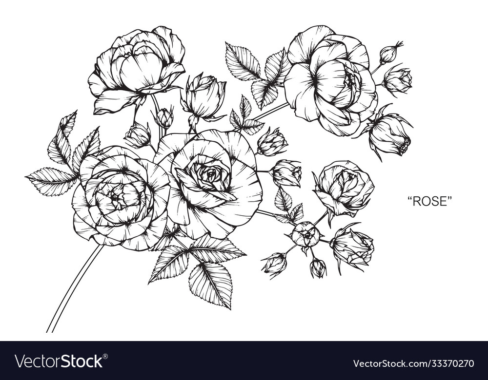 Rose flower and leaf hand drawn botanical