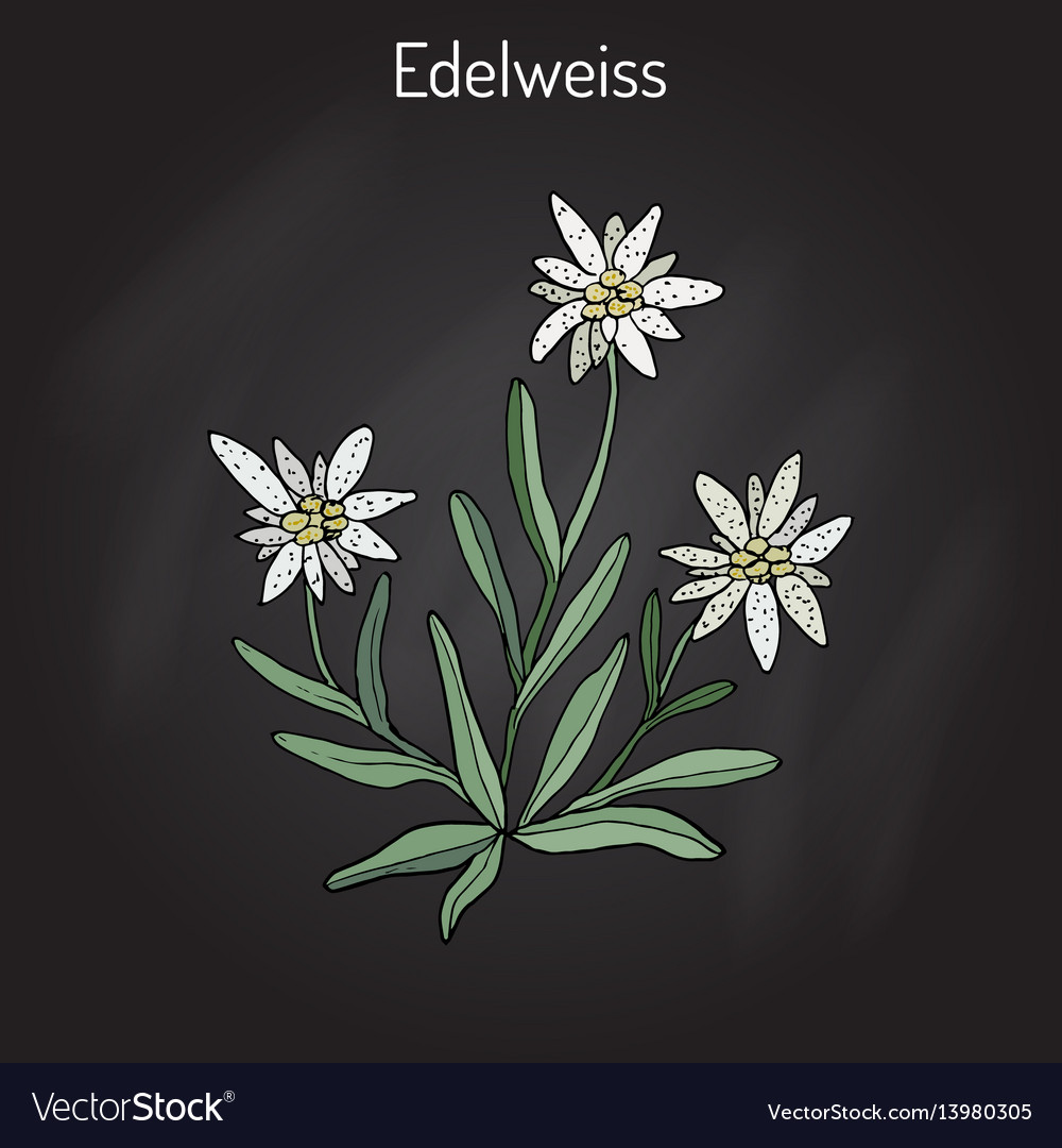 pics Edelweiss