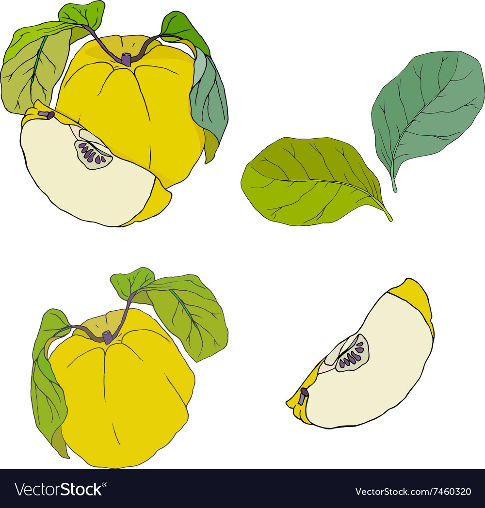 Quince with leaves set