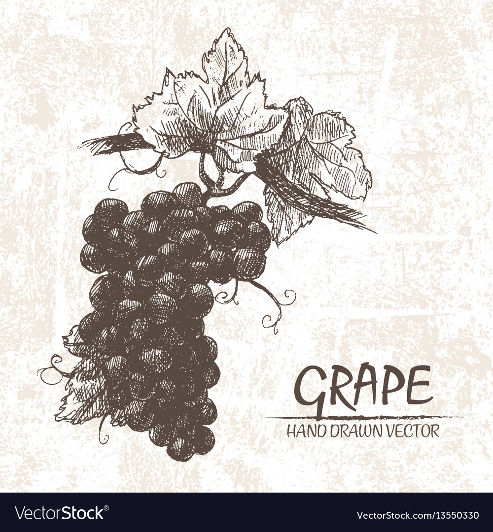 Digital detailed grape hand drawn
