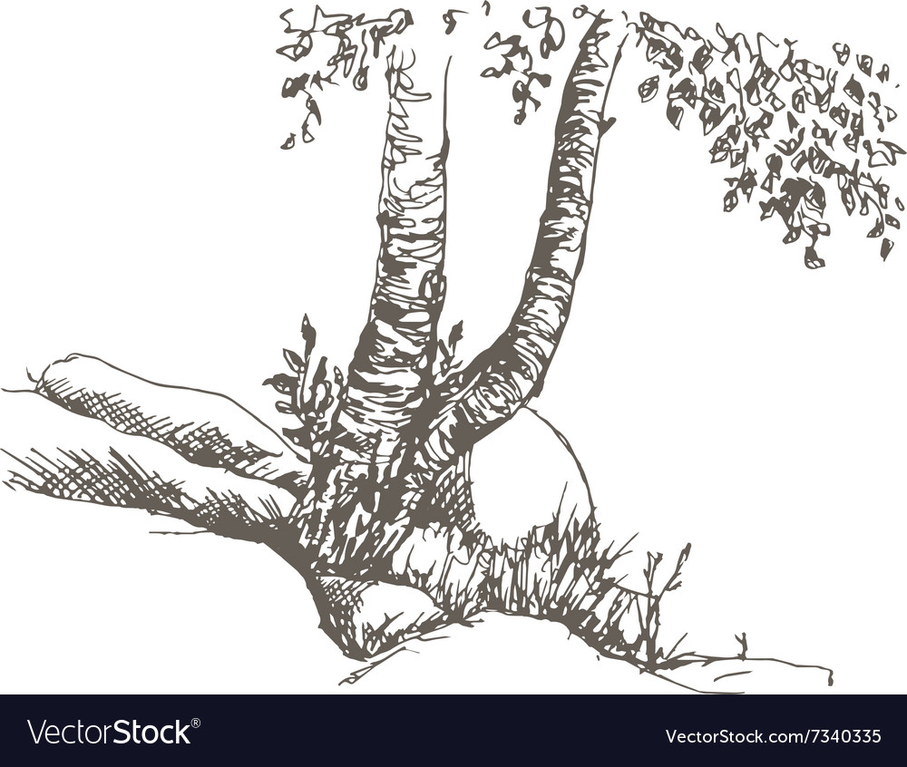 Birch trunks and rocks vector image