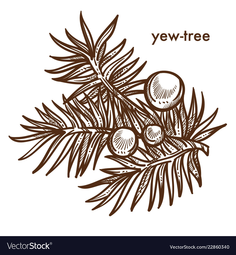 Yew Tree Branch Tree With Berries Monochrome Vector Image Its resolution is 1020x1257 and it is transparent background and png in order to draw a cartoon tree, you will need a sheet of paper and something to draw with, such as a pencil, pen, or marker. vectorstock