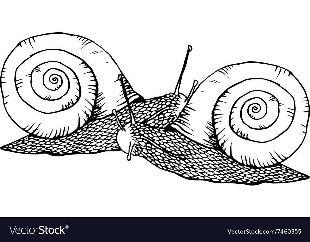 Two line drawing snails