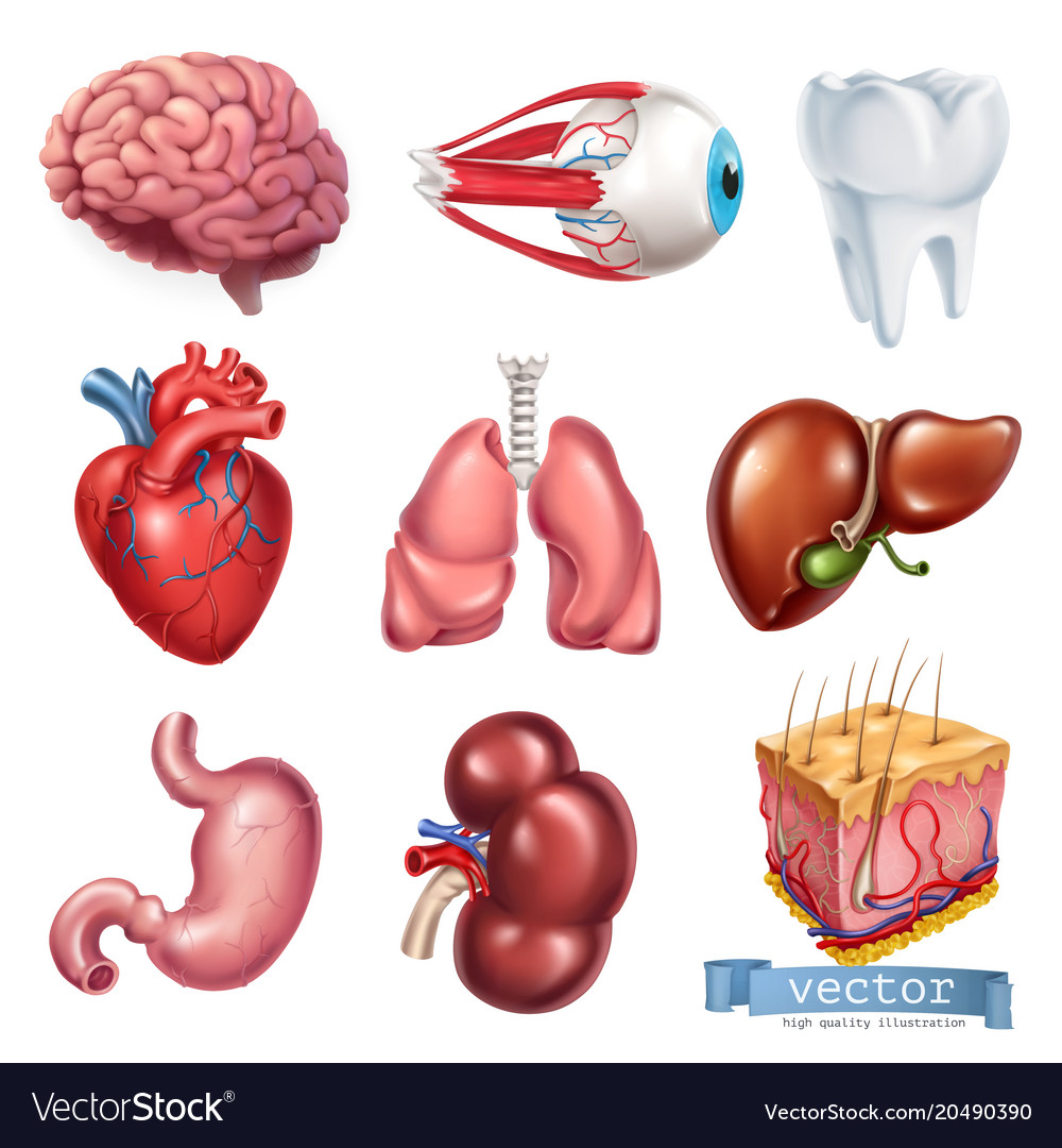 Human heart brain eye tooth lungs liver stomach