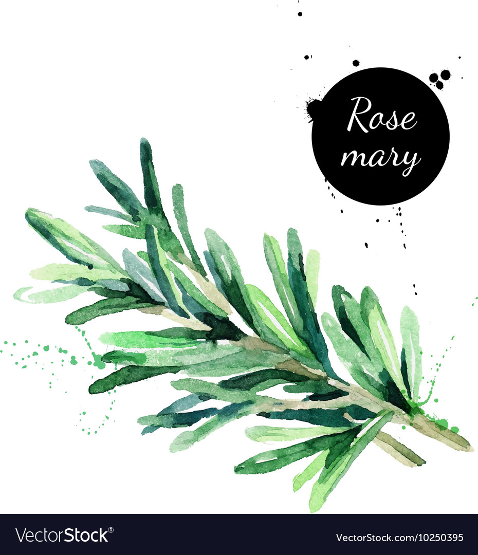 Watercolor hand drawn twig of rosemary Isolated