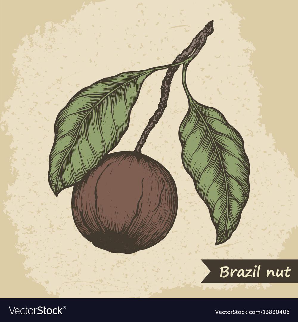 Brazil nut fruit vintage engraved vector image