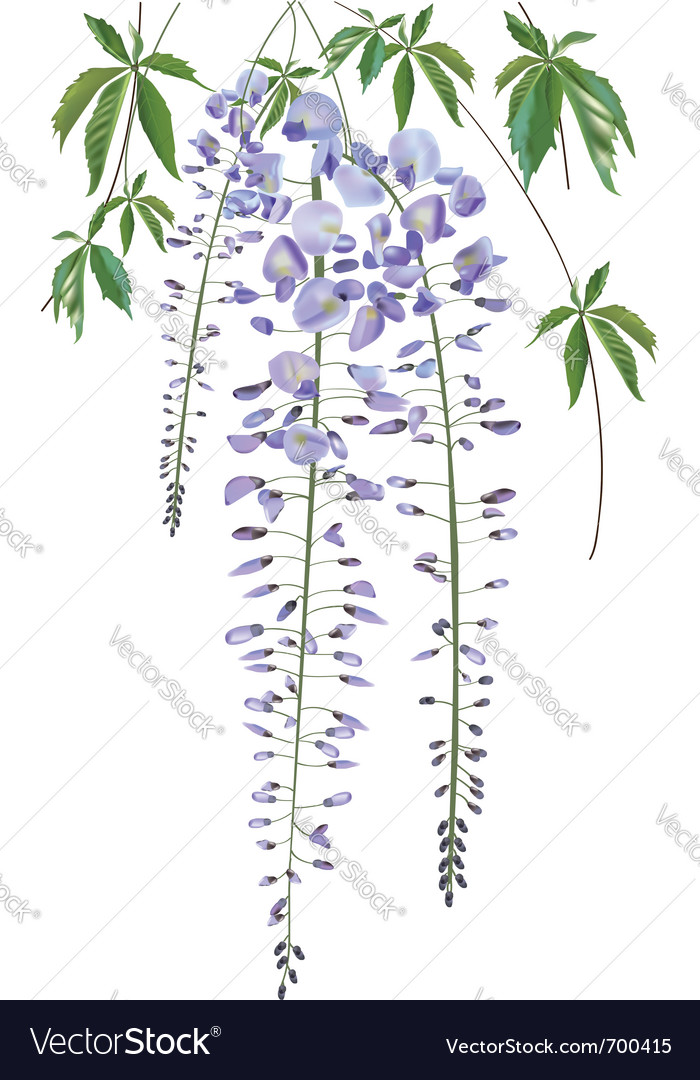 Blooming wisteria branch with leaves vector image