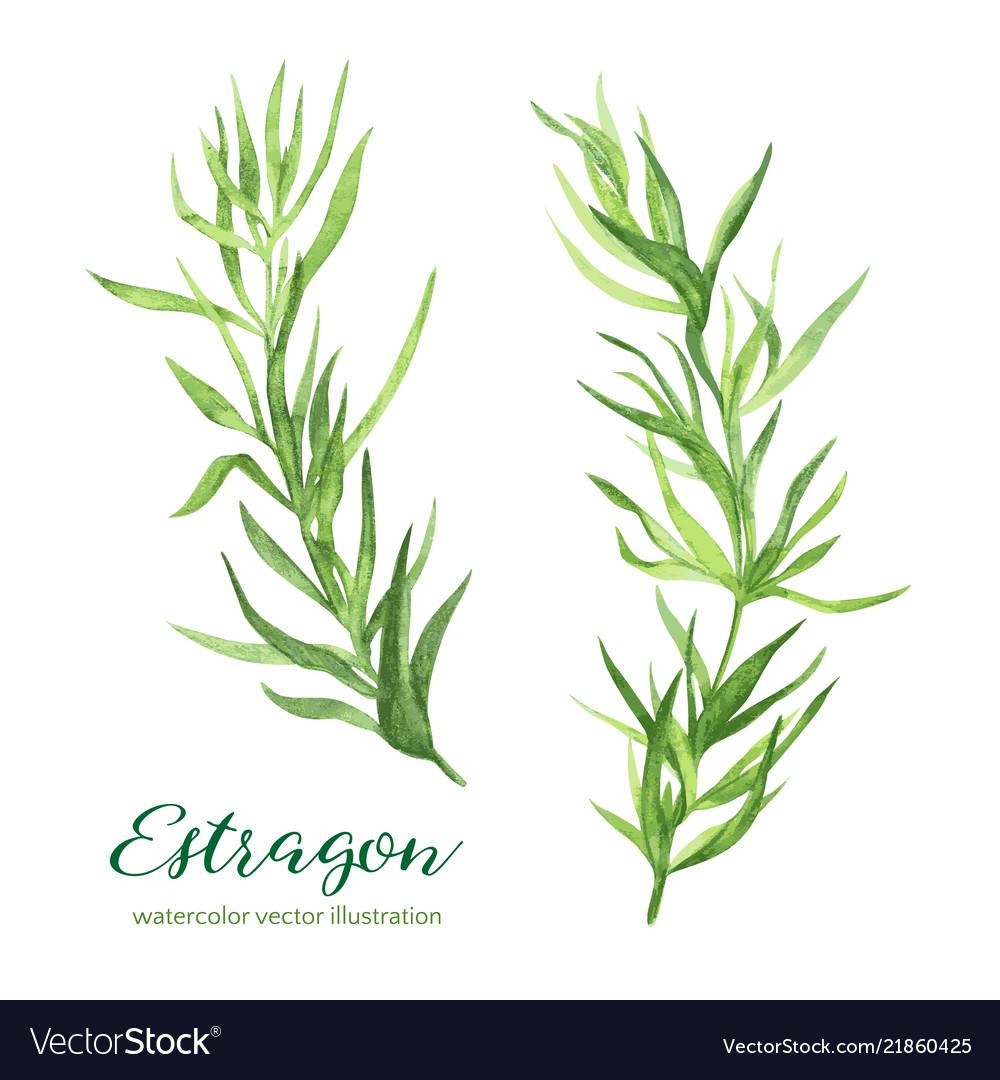 Estragon watercolor