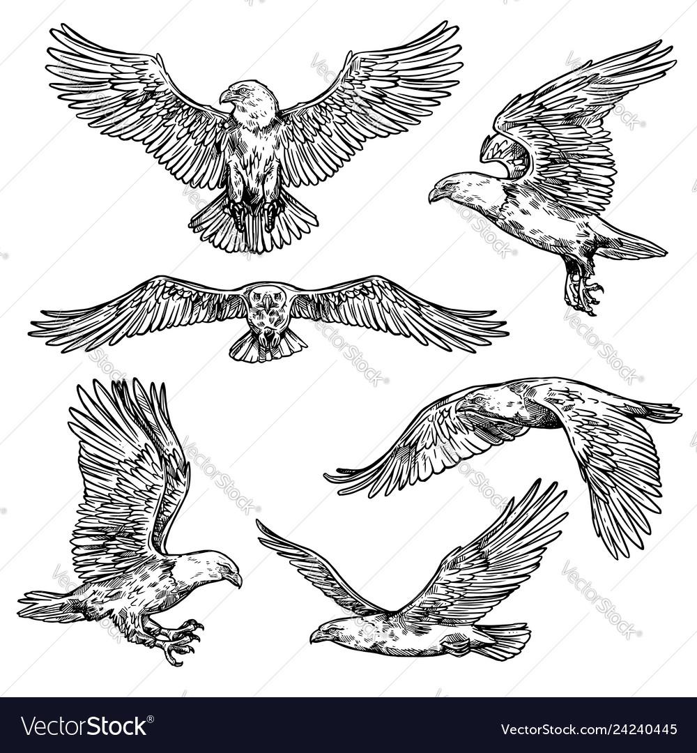 Hawk or eagle sketch flying falcon