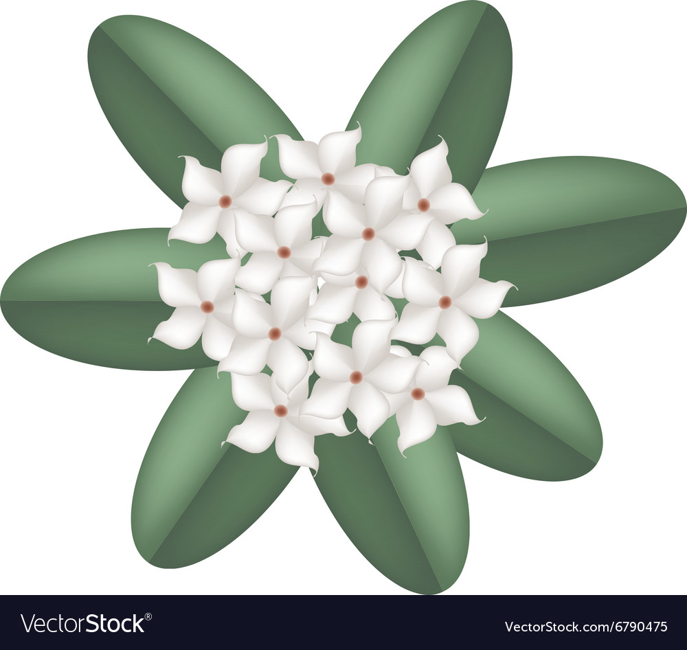White Madagascar Jasmine Flowers Royalty Free Vector Image