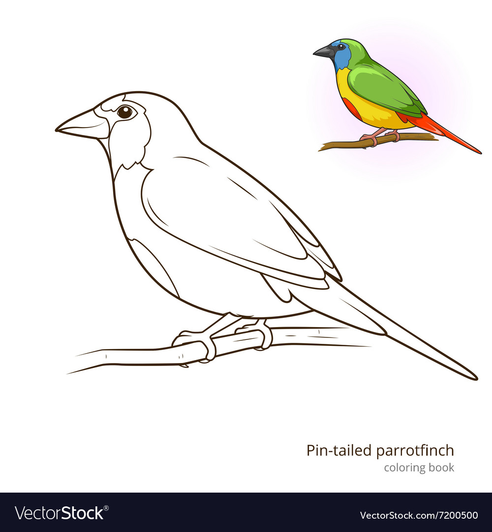 - Pin Tailed Parrotfinch Bird Coloring Book Vector Image