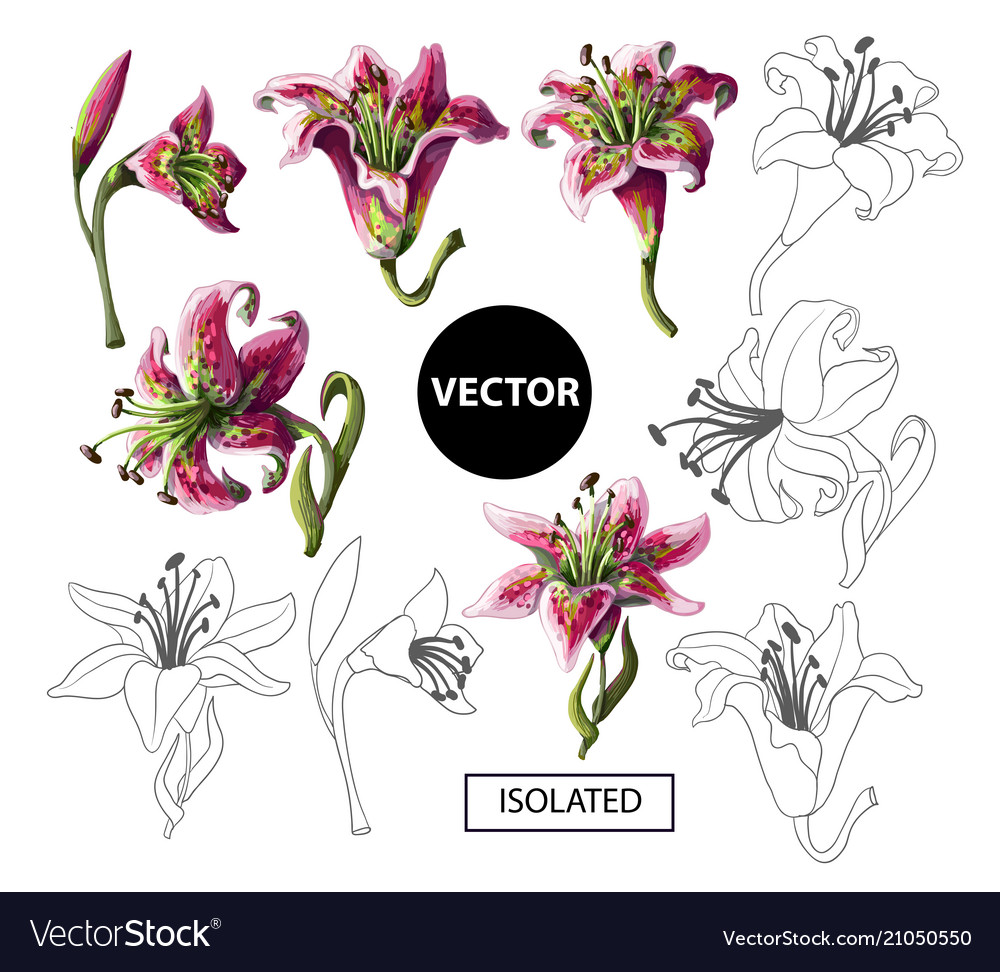 Lilies Flowers Isolated On A White Background Vector Image