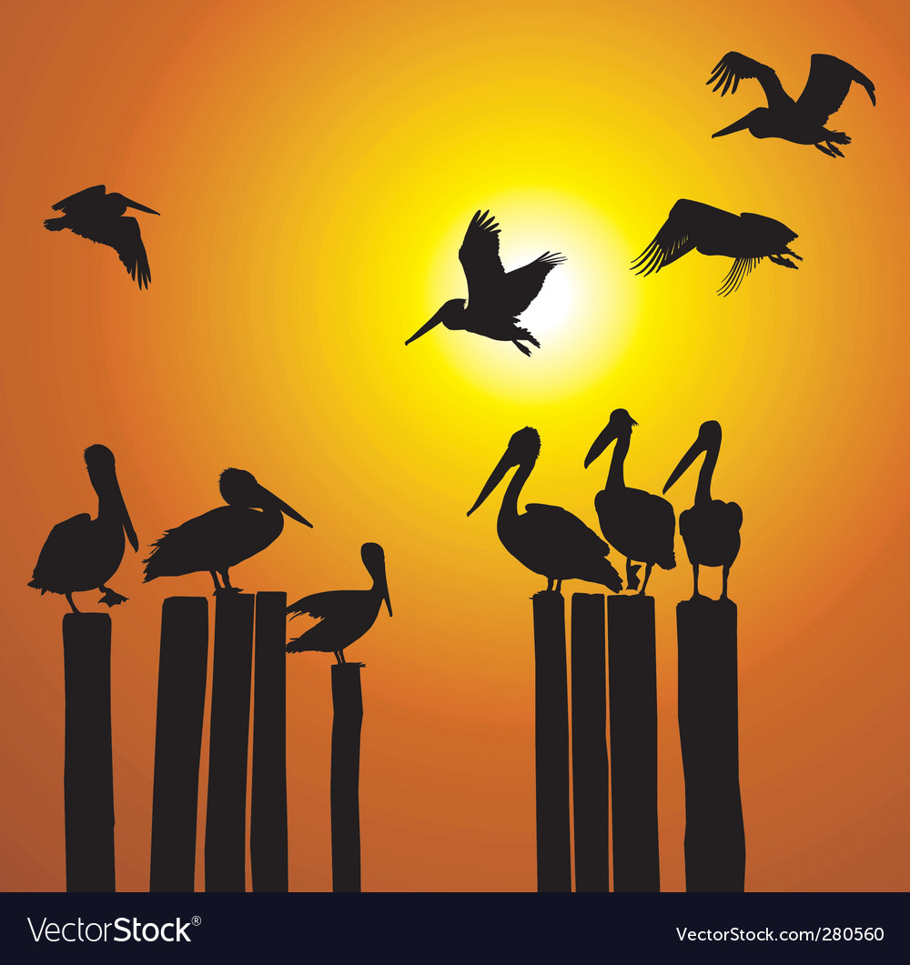 Silhouettes pelicans and sunset vector image