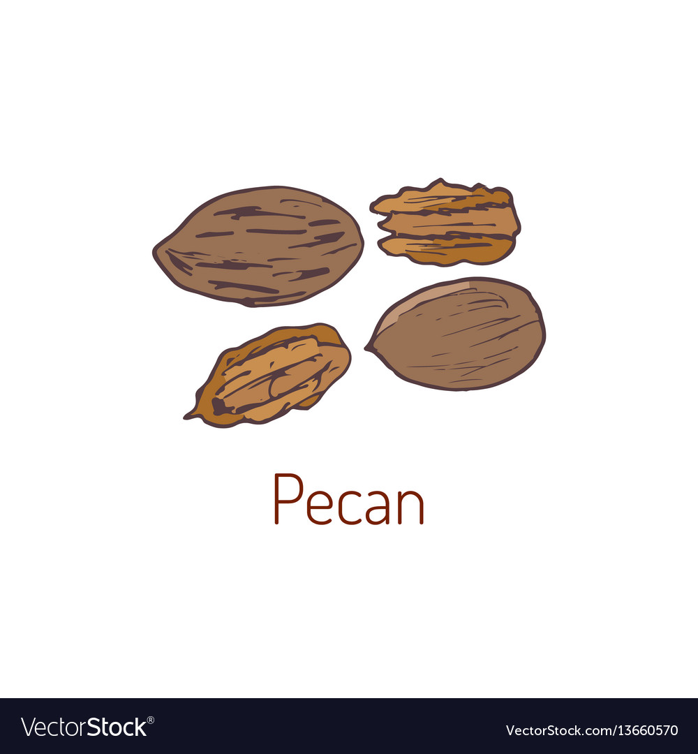 Pecan nuts hand drawn