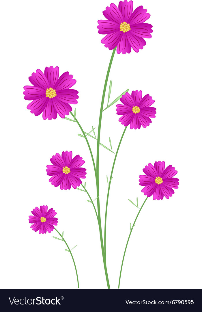 Beautiful Pink Cosmos Flowers On White Background Vector Image