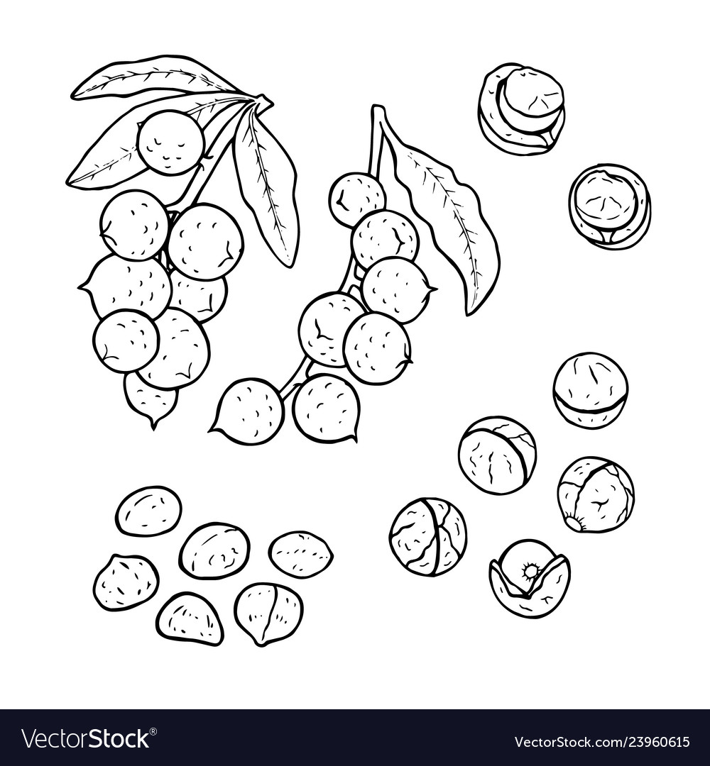 Linear set of macadamia nuts line drawing