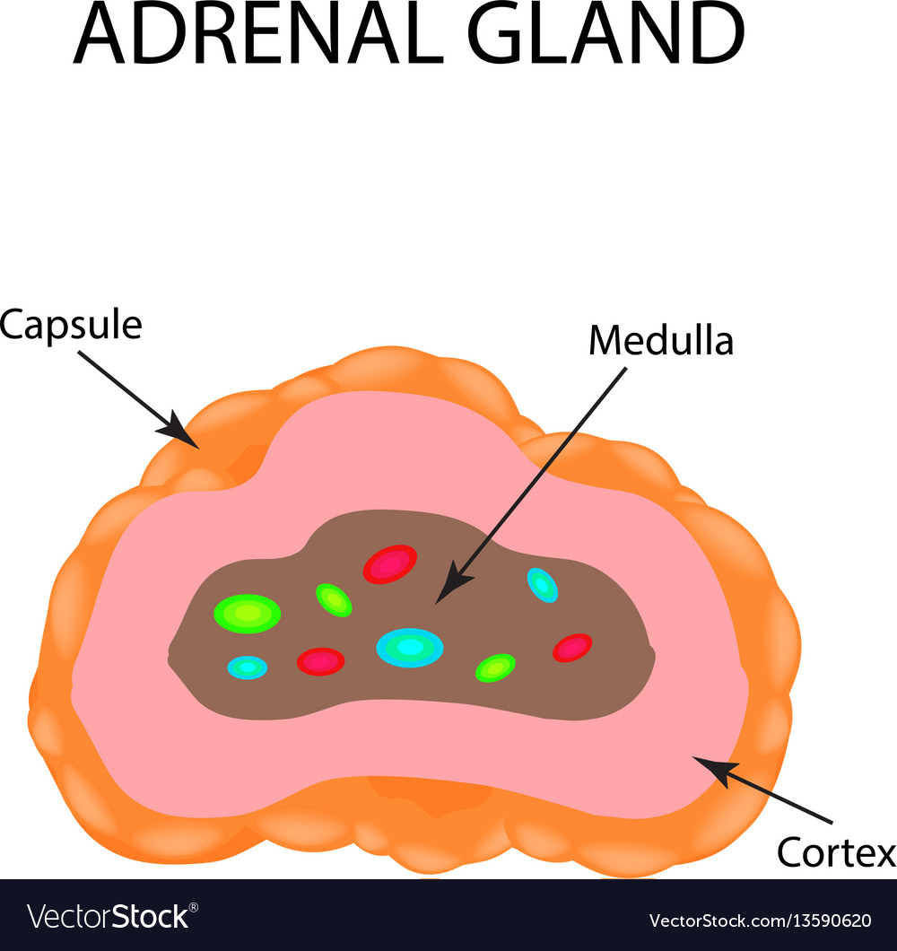The Anatomical Structure Of The Adrenal Gland Vector Image