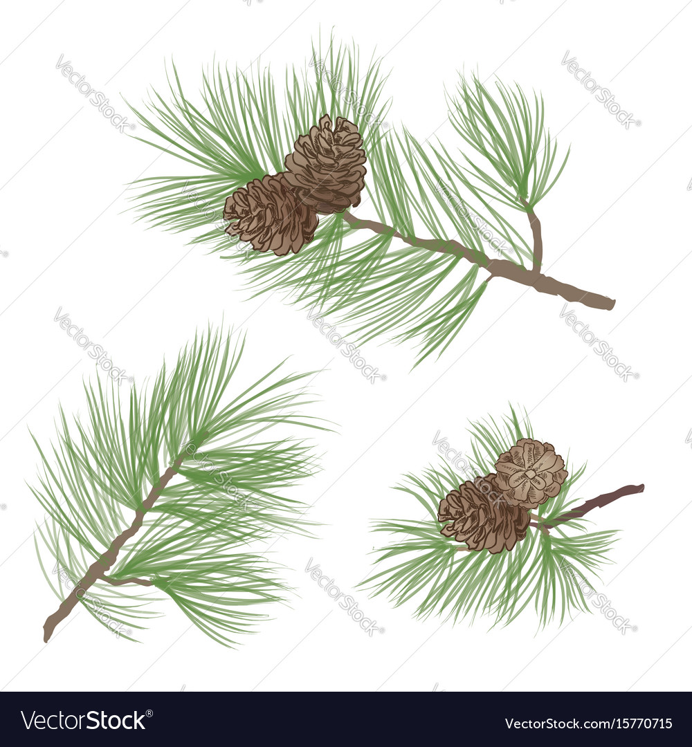 Pinecone pine tree branch isolated floral