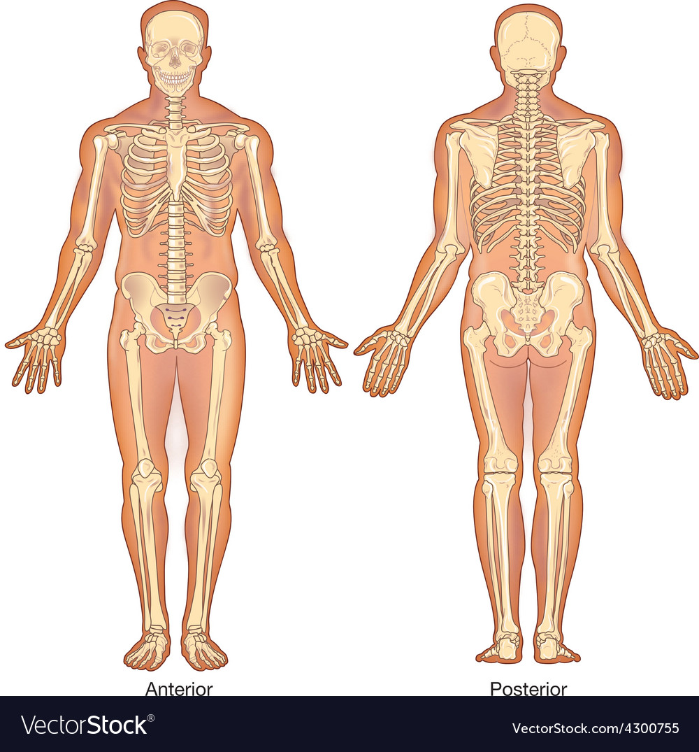 Skeleton Anterior Posterior Views Royalty Free Vector Image