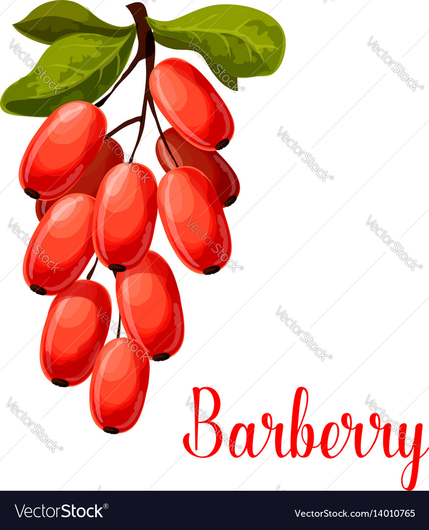 Barberry fruit icon for food and spices design
