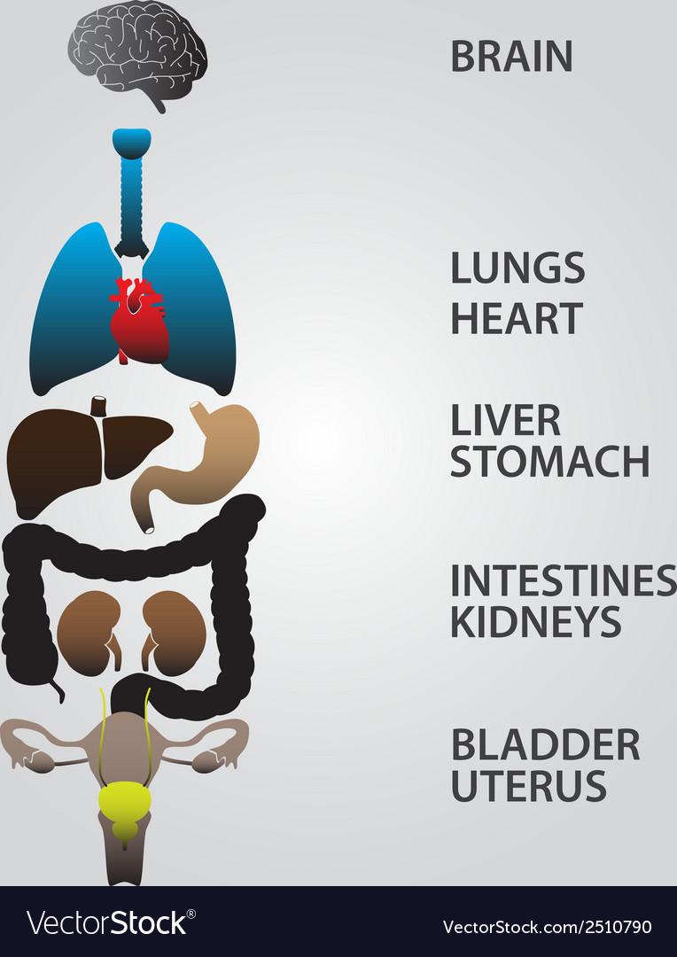 Color internal human body organs eps10