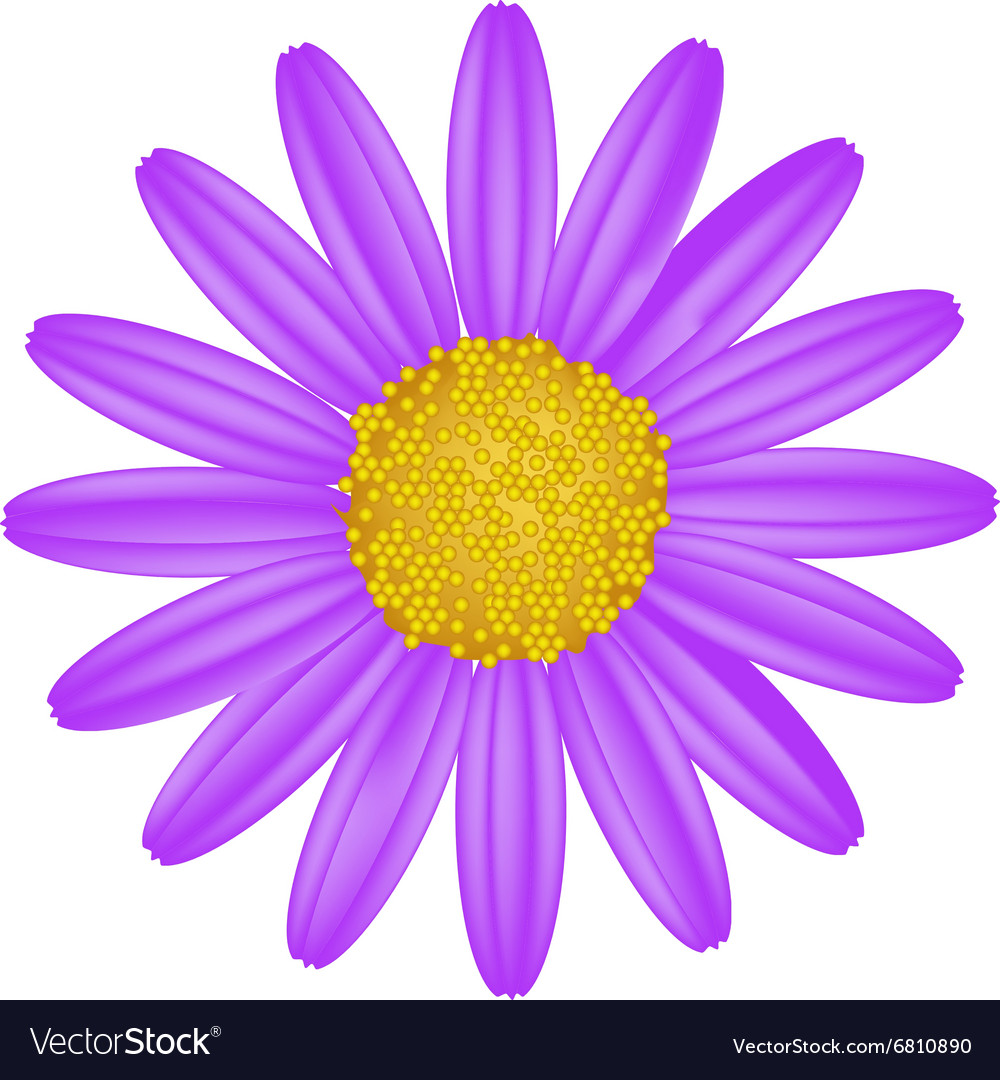 Purple Daisy Flower On A White Background Vector Image