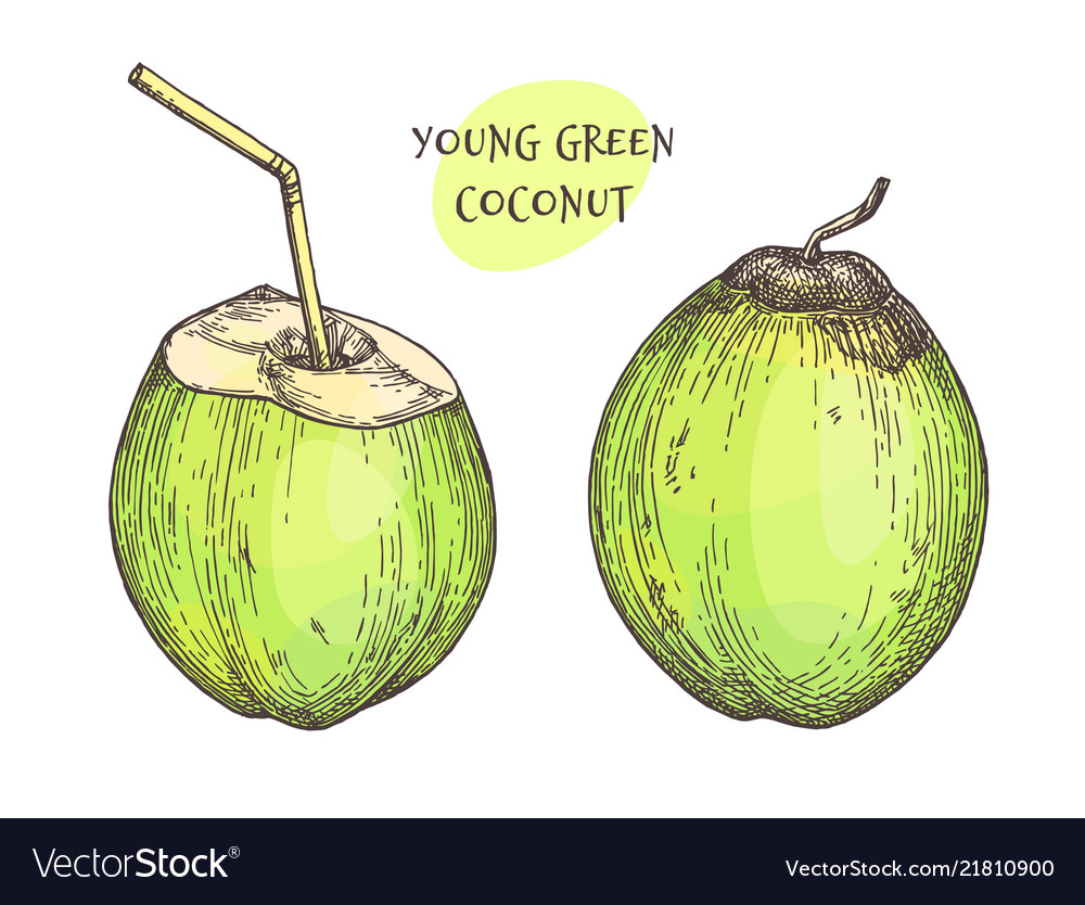 Ink sketch of young green coconuts