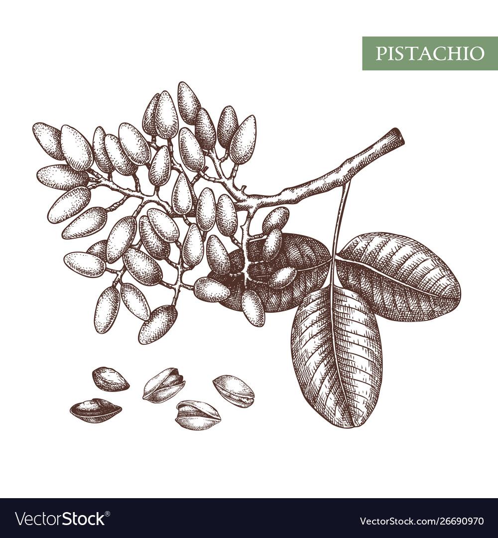 Pistachio hand drawn food drawing culinar