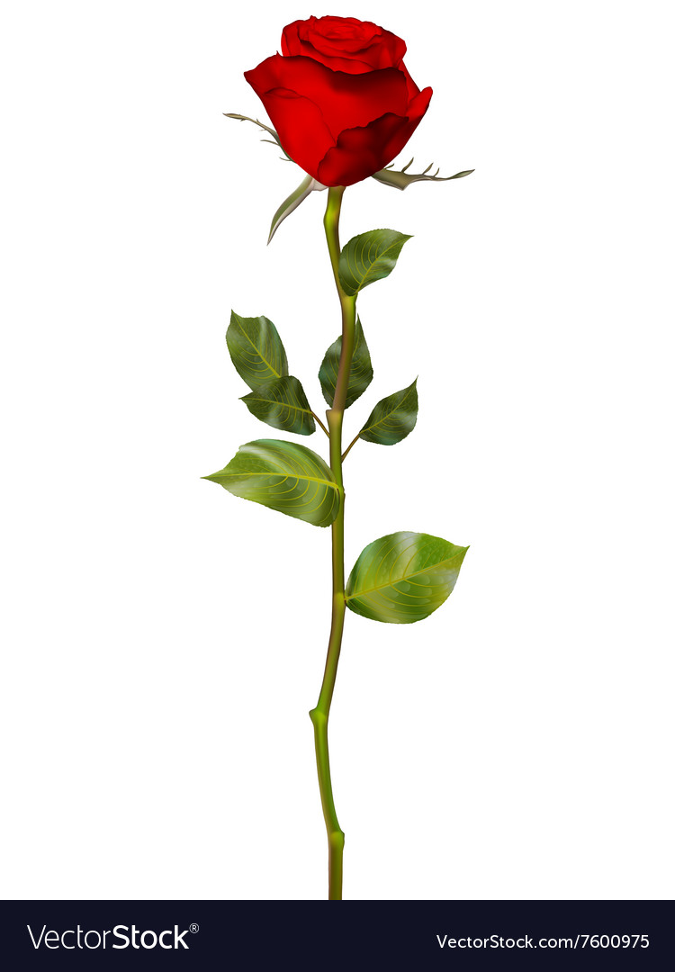Red Rose isolated on white EPS 10 vector image