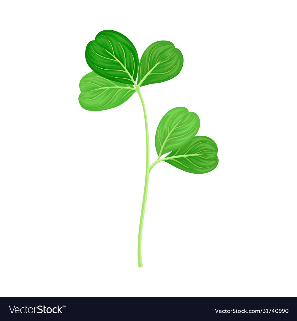 Green Trifoliate Clover Leaf On Stem Royalty Free Vector