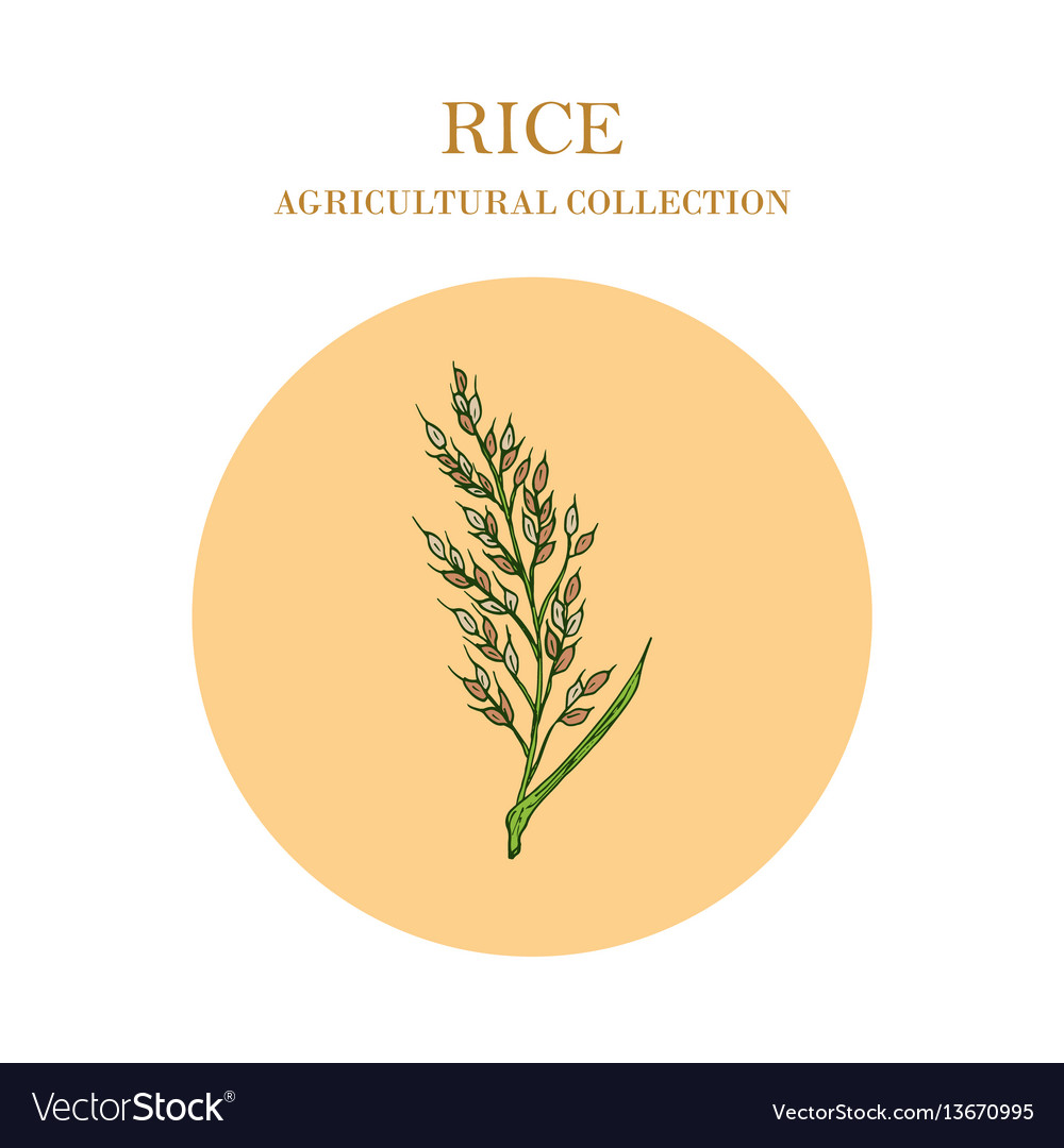 Rice plant hand drawn agricultural crops