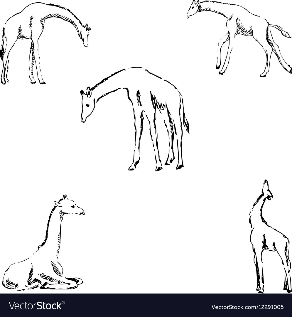 Giraffes a sketch by hand pencil drawing