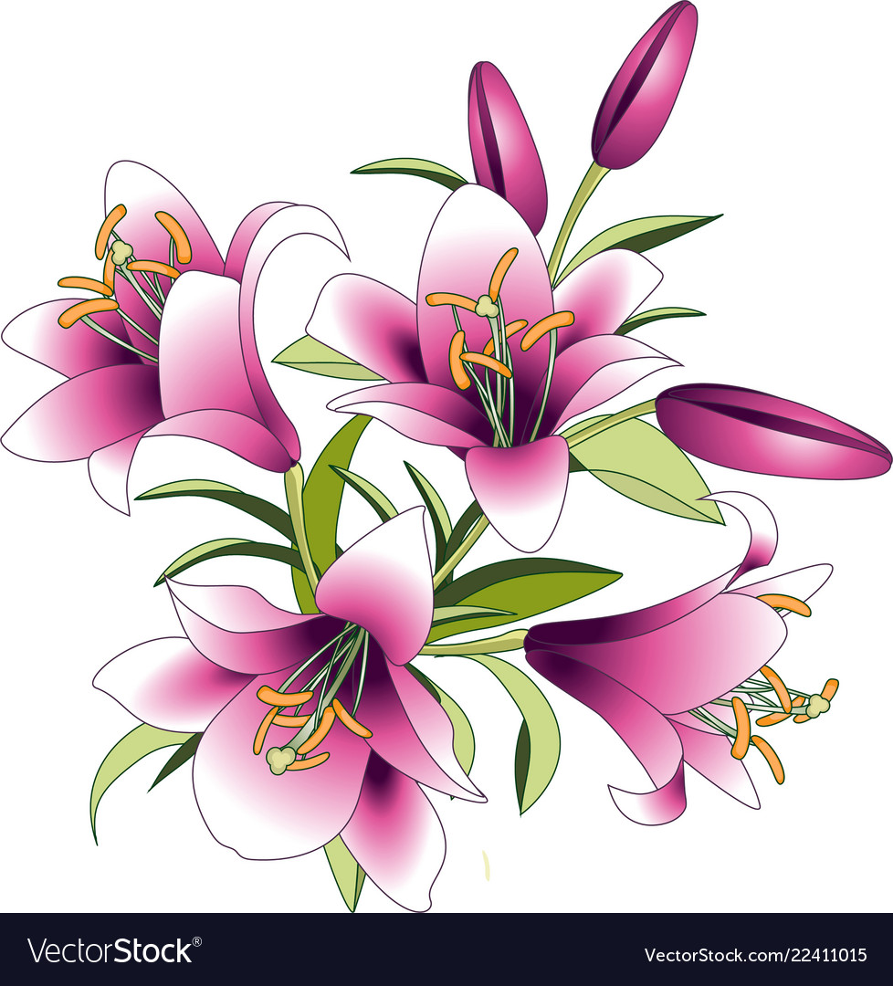 Pink Lily Flowers Royalty Free Vector Image