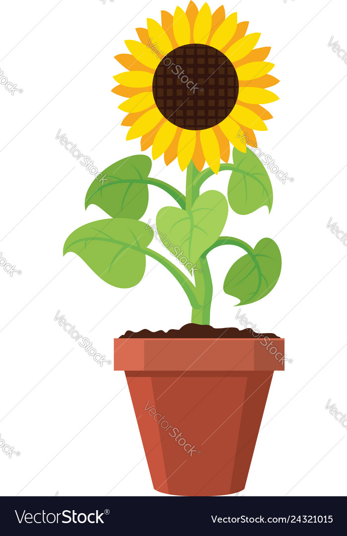 Cartoon of garden sunflower grow in pot