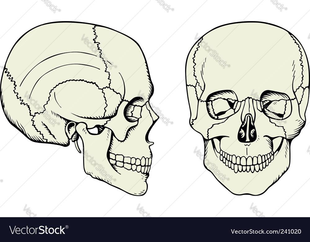 Cranium vector image
